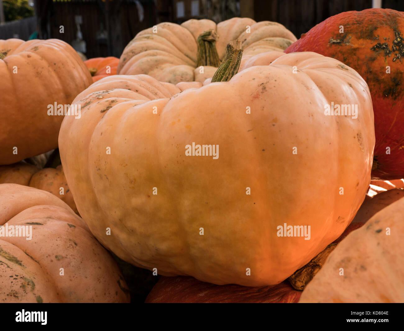 Mini-pumpkins, Woodstock Farmers' Market, West Woodstock, Vermont. - Stock Image