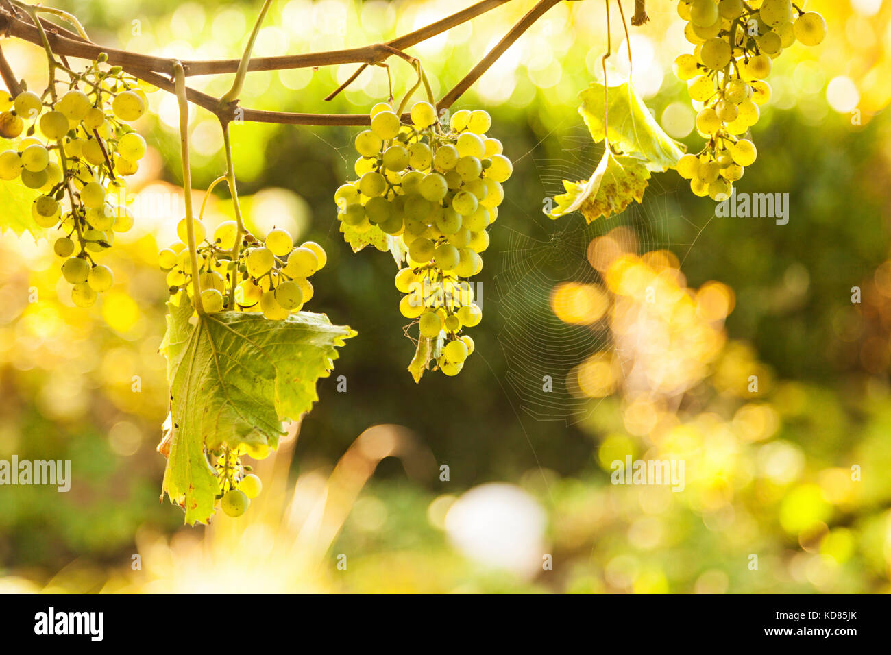 Ripe grapes hanging from vines, backlighting from sun - Stock Image