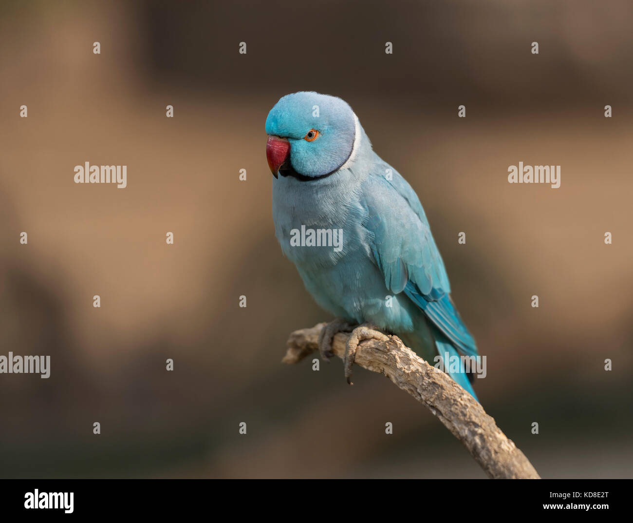 A beautiful Indian blue ring-necked parrot sitting on a perch. - Stock Image