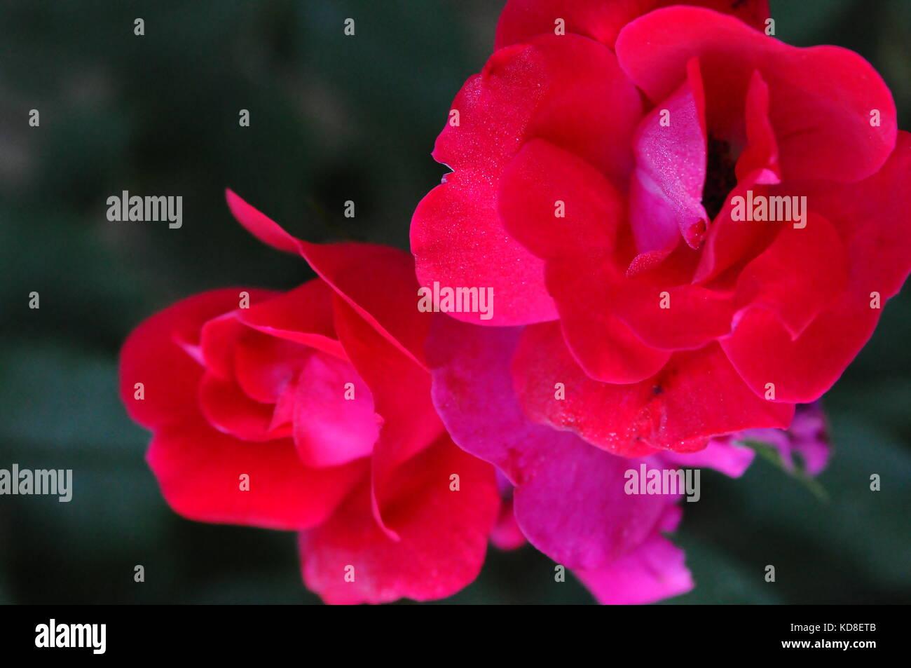 Vibrant Symbol of Love - Stock Image