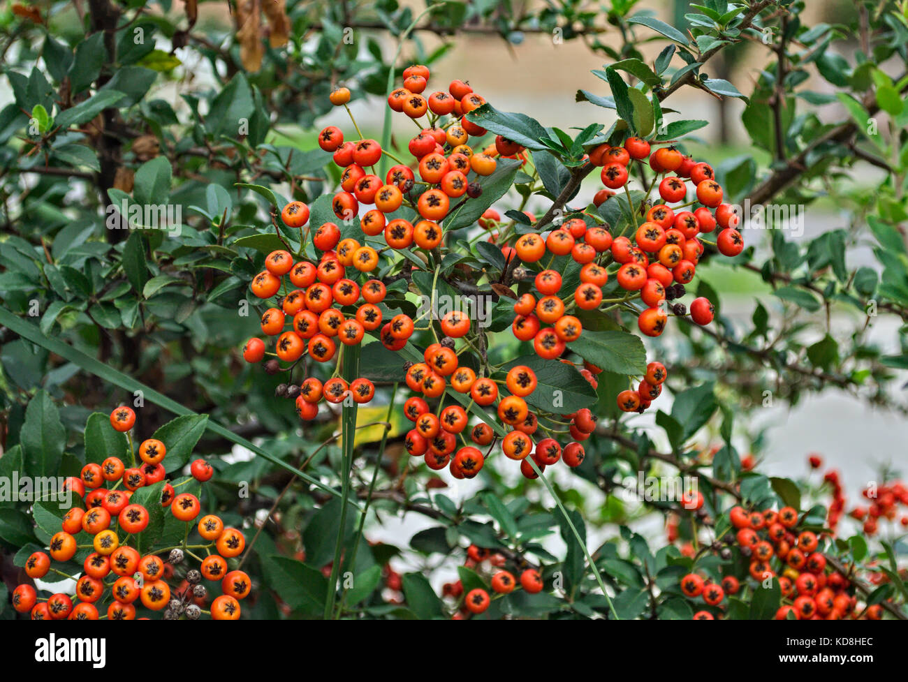 Small Orange Berries Stock Photos Small Orange Berries Stock