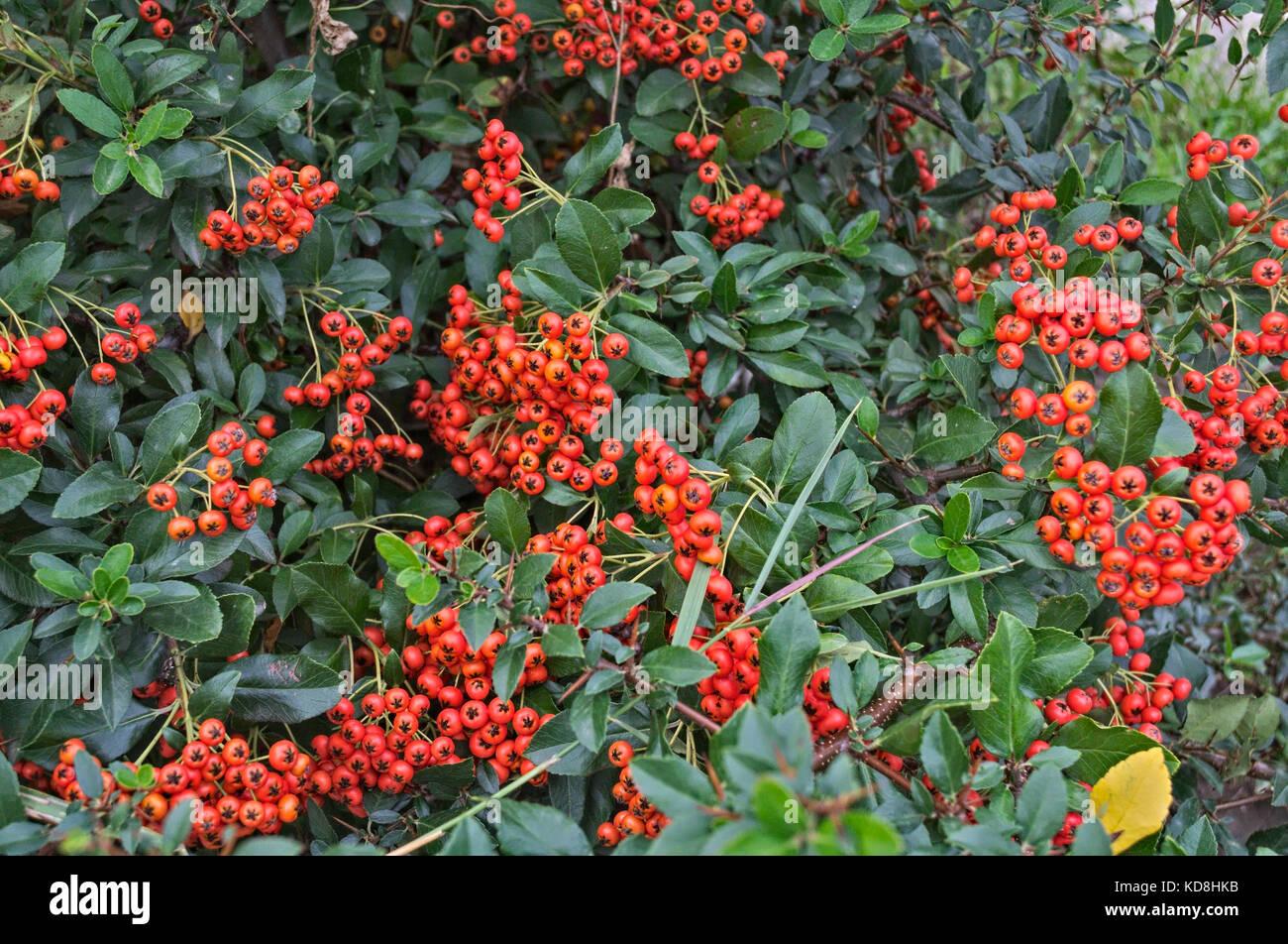 Abundance Of Small Orange Berries On A Bush Autumn Time Stock