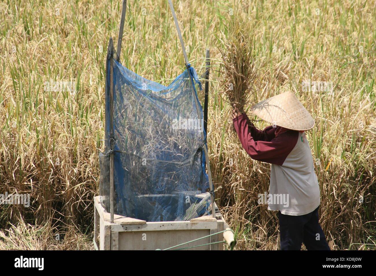 Frau beim dreschen von Reis Pflanzen - Woman threshing of rice plants - Stock Image