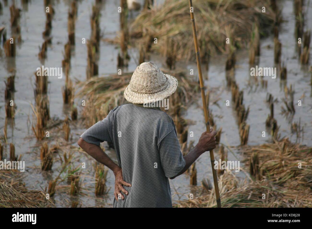 Mann im Reisfeld bei der Ernte - Man in rice field at harvest - Stock Image
