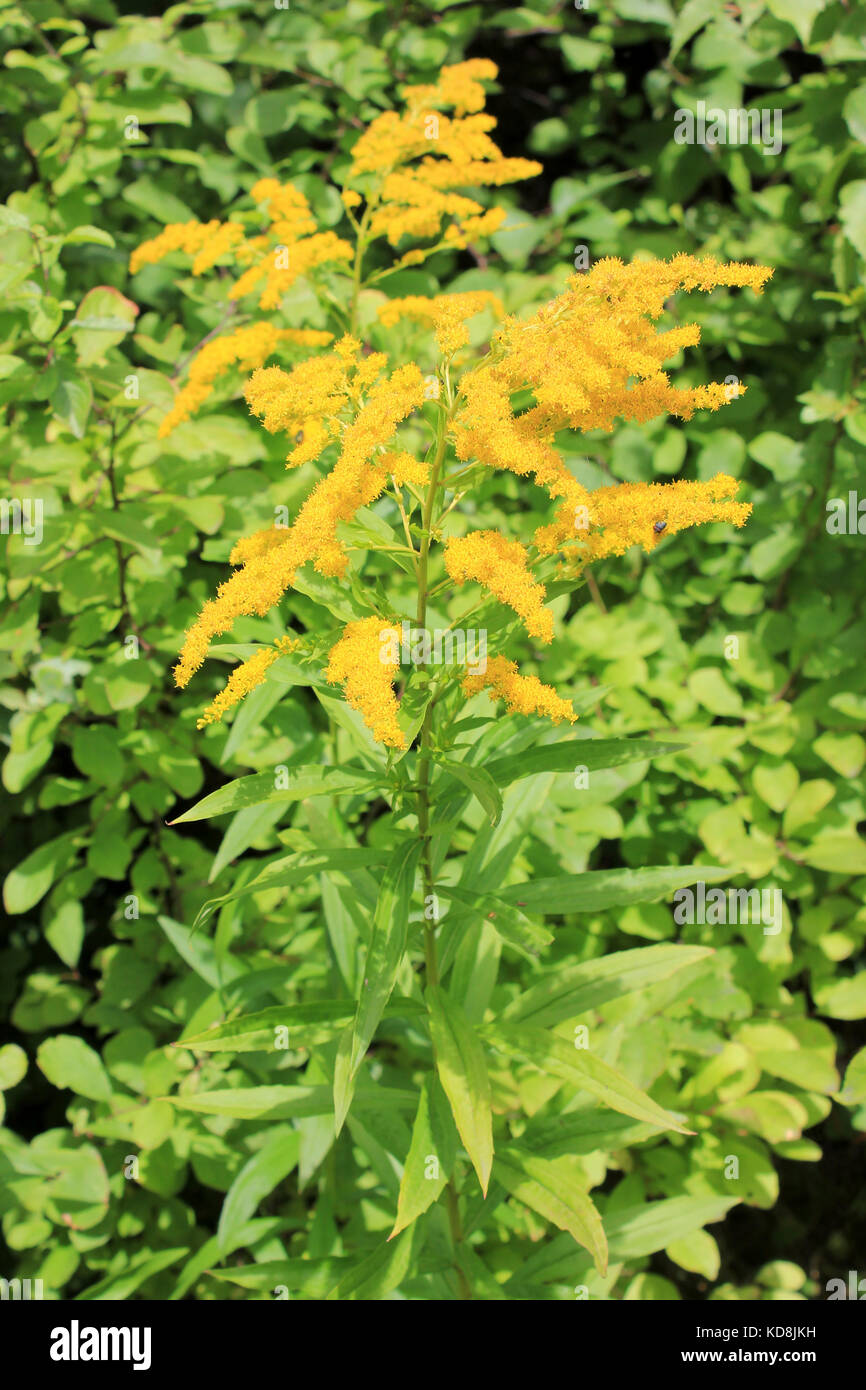 Canadian Goldenrod Solidago canadensis - a European Invasive Plant Species from North America - Stock Image