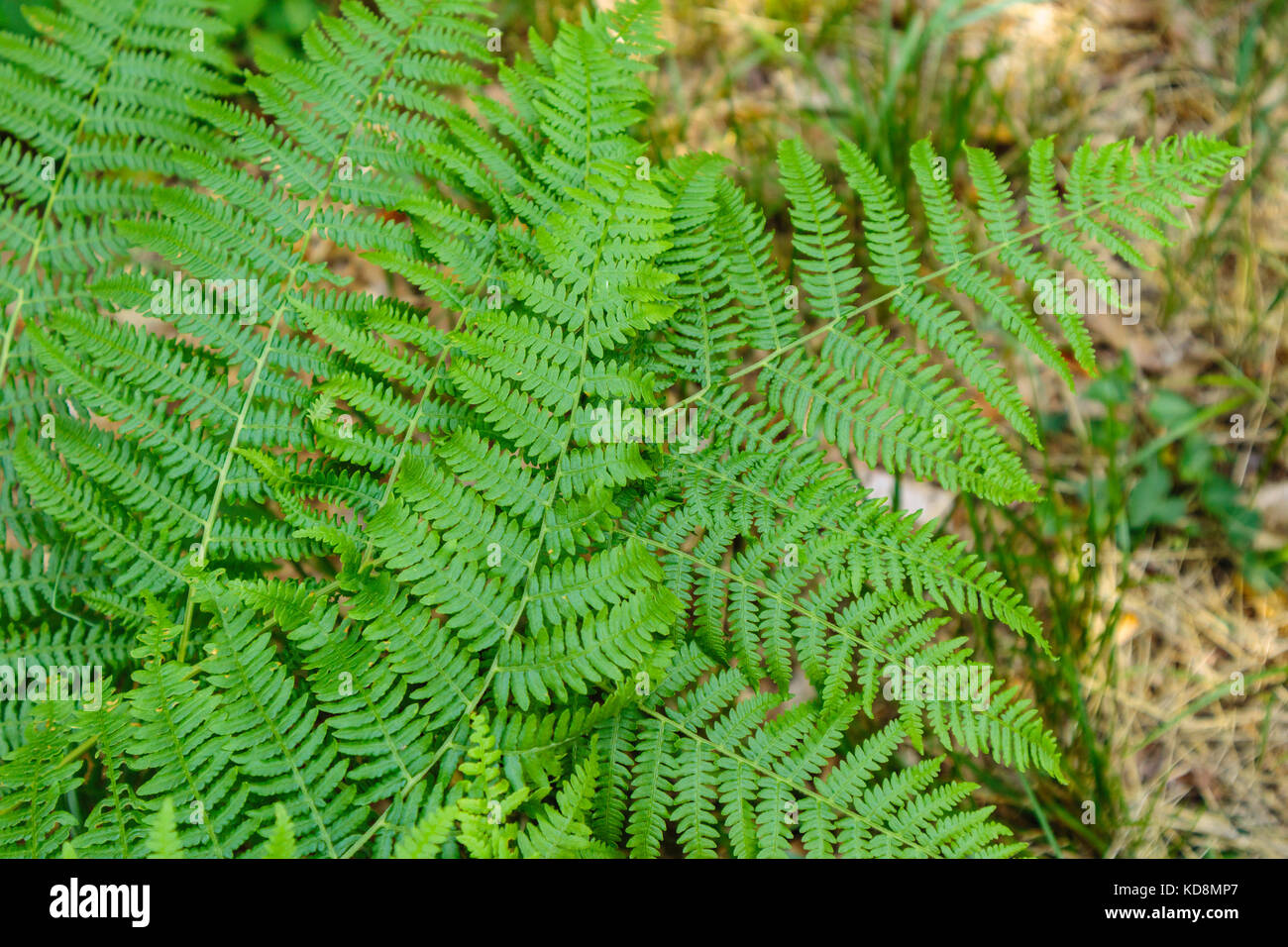 Details of fern leaves frond, polypodiopsida branched branched Stock Photo