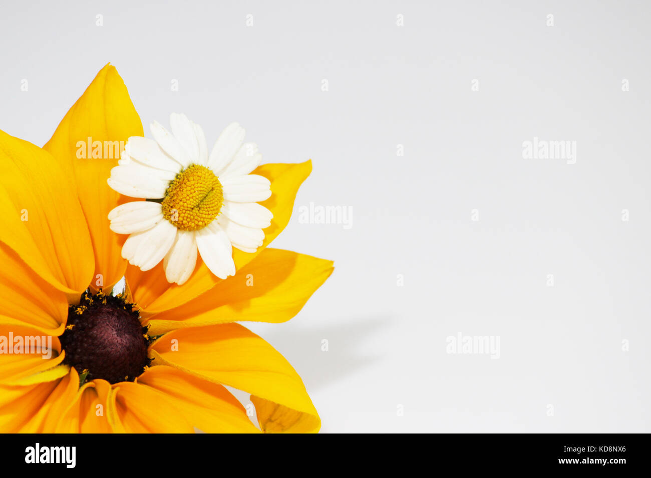 Yellow and black flower Rudbeckia fulgida and chrysanthemum like small chamomile, on a white background. - Stock Image