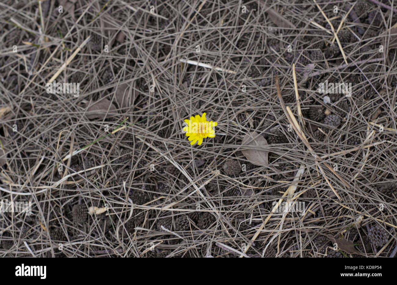 a lonely flower centered on the frame with nothing but only dirt and dead leafs around - Stock Image