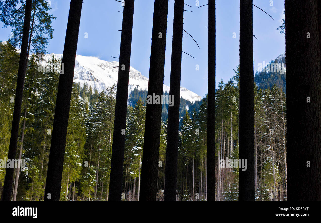 View through the pine woods in the Vilsalp Valley, Tannheim, Tyrol, Austria - Stock Image