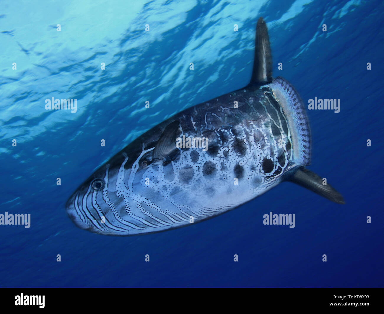 Slender sunfish, Ranzania laevis. It's a marine, oceanic species occurs in subtropical waters between depths - Stock Image