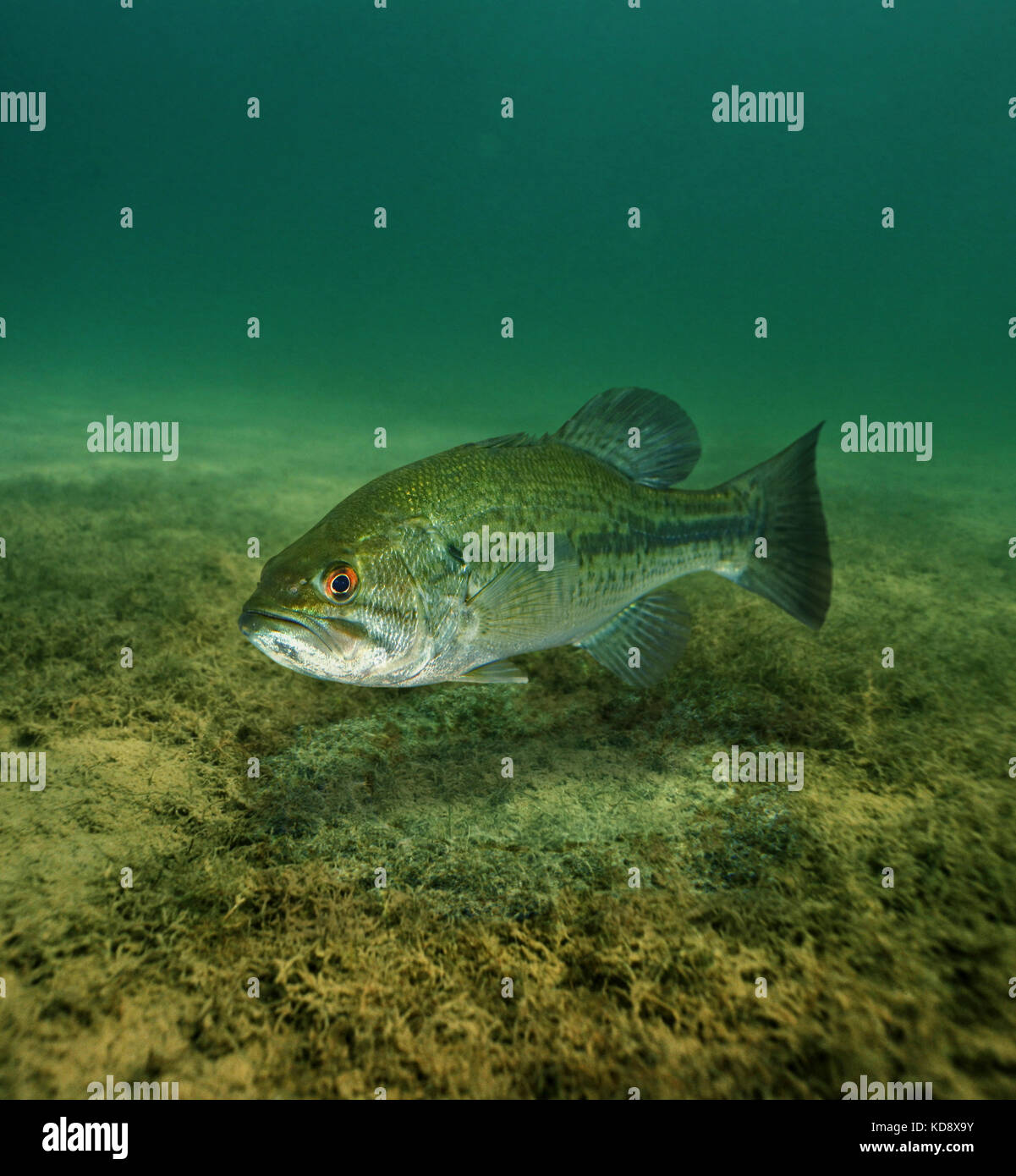Largemouth bass, Micropterus salmoides. Male guarding the nest. The male will then guard the nest until the eggs - Stock Image