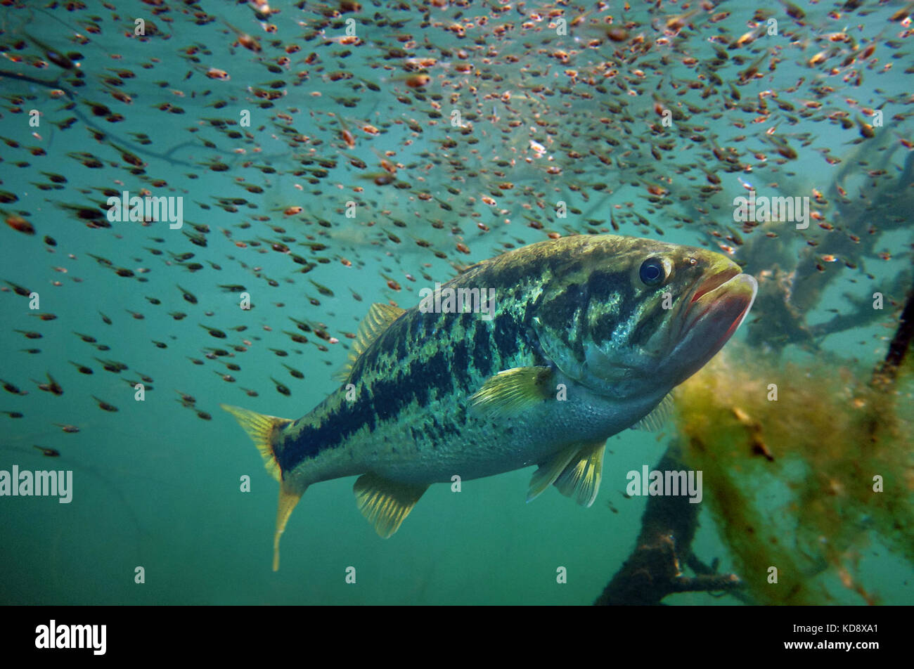 Largemouth bass, Micropterus salmoides. Male guarding newborn baby fry. The male will stay with the infant bass - Stock Image