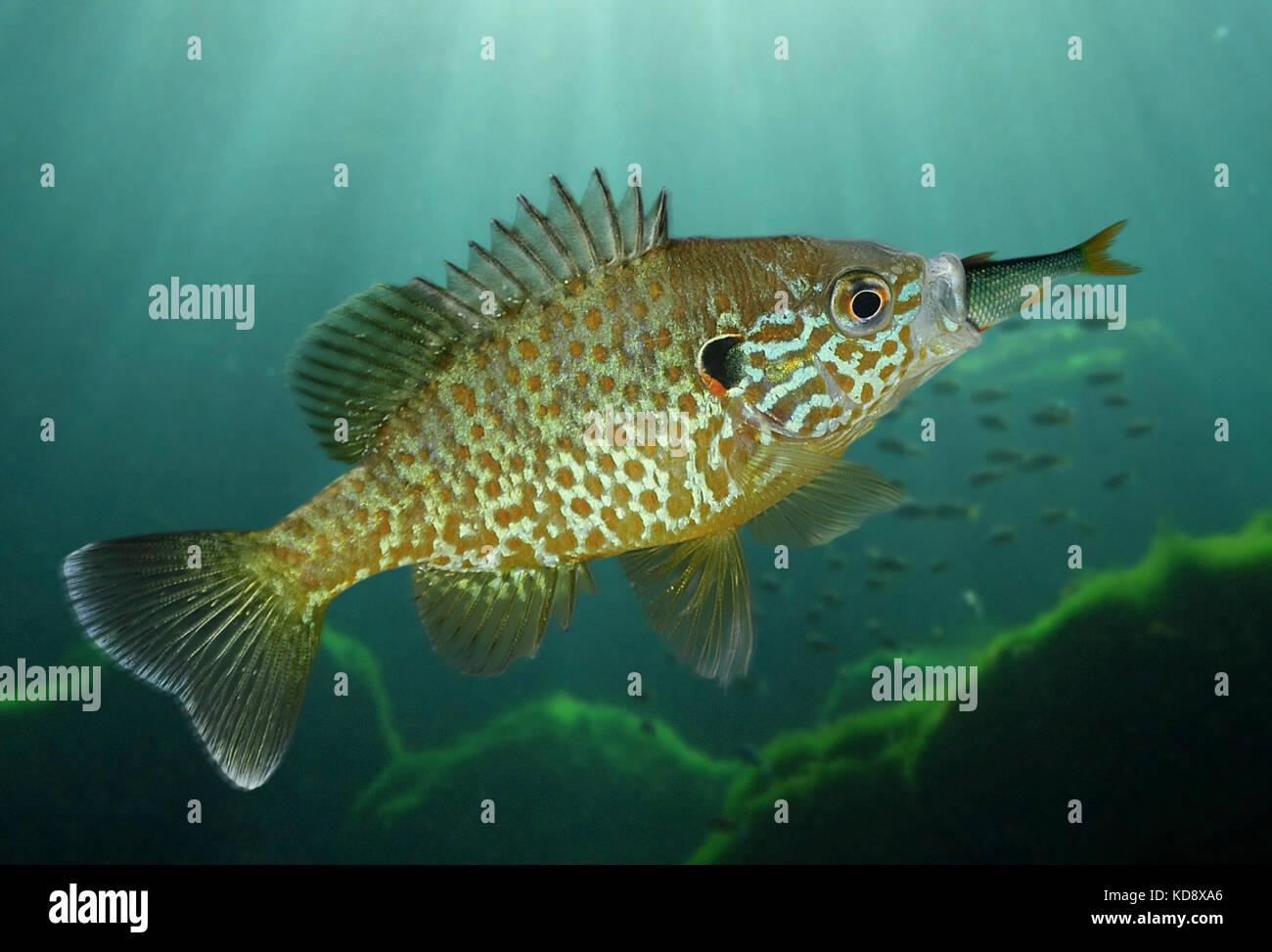 Pumpkinseed, Lepomis gibbosus. Eating a small Roach. It has been introduced in several parts of the world as a sport - Stock Image