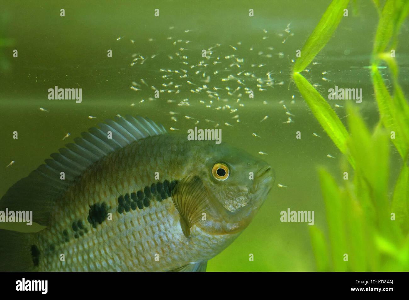 Chameleon cichlid, Australoheros facetus. Male guarding fry in aquarium. Both parent guard larvae and juveniles - Stock Image
