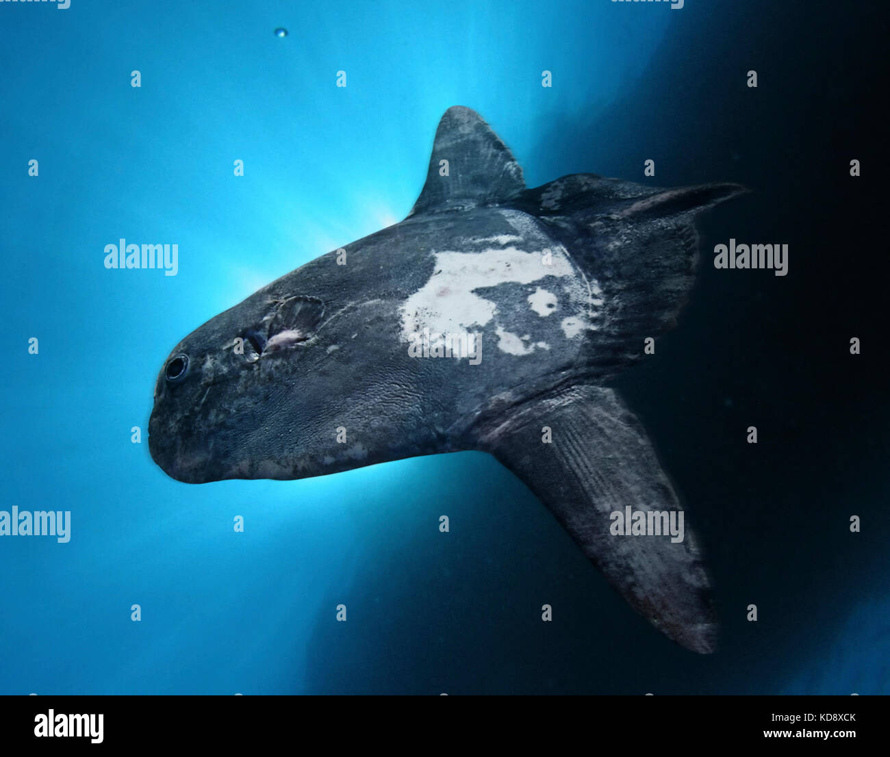 Sharptail mola, Masturus lanceolatus. Rare species. They usually live from  5 to 200 m but at night they descent - Stock Image
