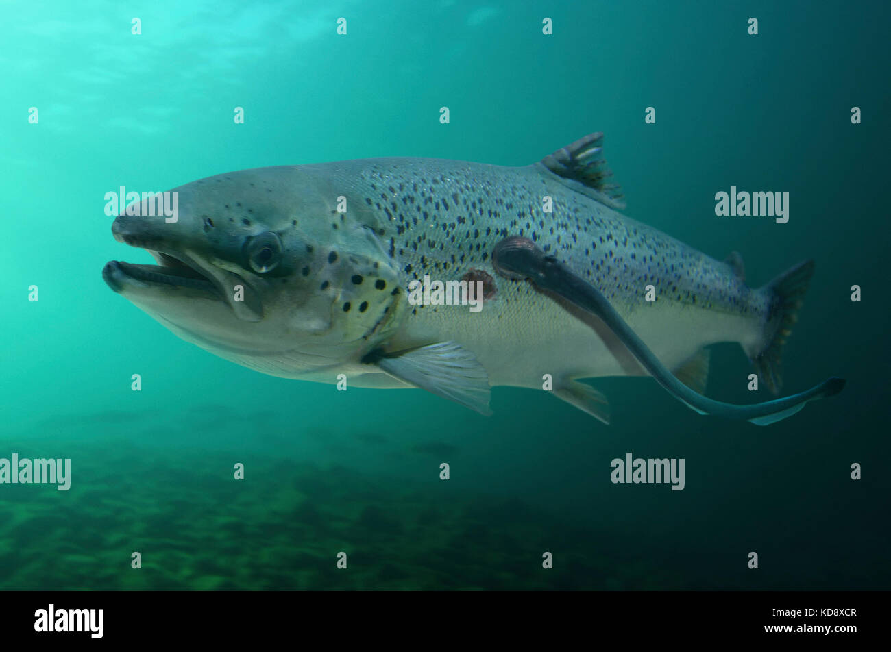 Young Sea lamprey, Petromyzon marinus, parasitizing large Salmon, Salmo salar. Note other circular mark of lamprey - Stock Image