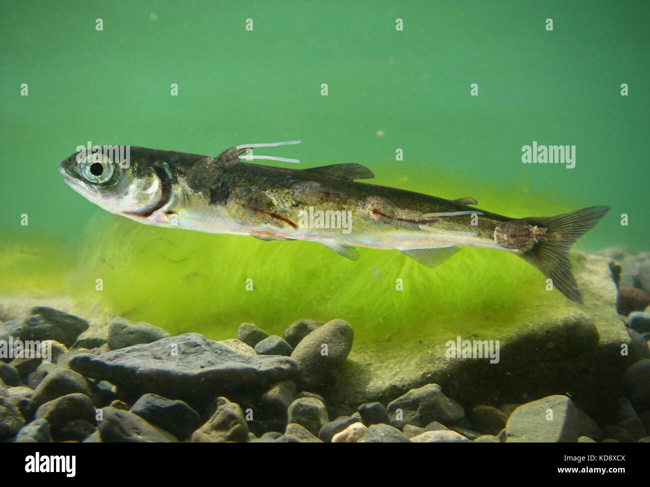Sea Lice Stock Photos & Sea Lice Stock Images - Alamy