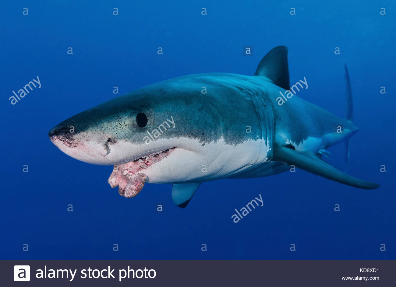 Great white shark, Carcharodon carcharias, with mouth tumour. One of the reasons millions of sharks get killed each - Stock Image