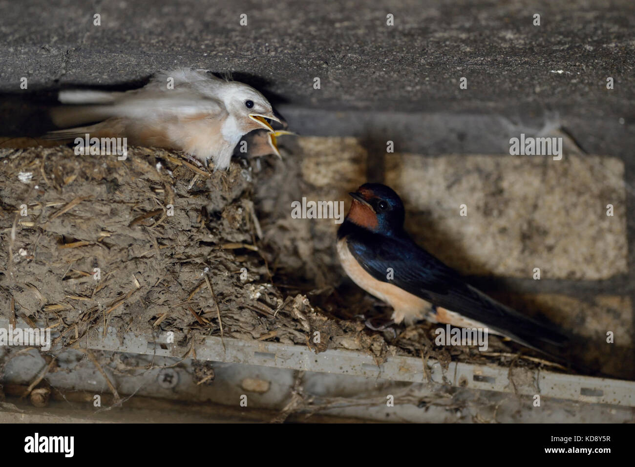 Barn Swallow / Rauchschwalbe ( Hirundo rustica ), adult perched next to its chicks in nest, two of them with white - Stock Image
