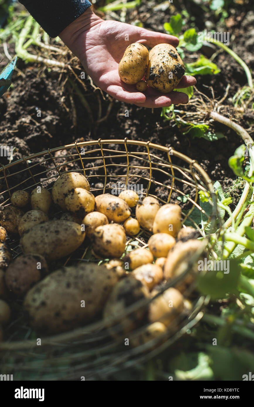 Woman harvest potatoes from the garden in a basket Stock Photo ...
