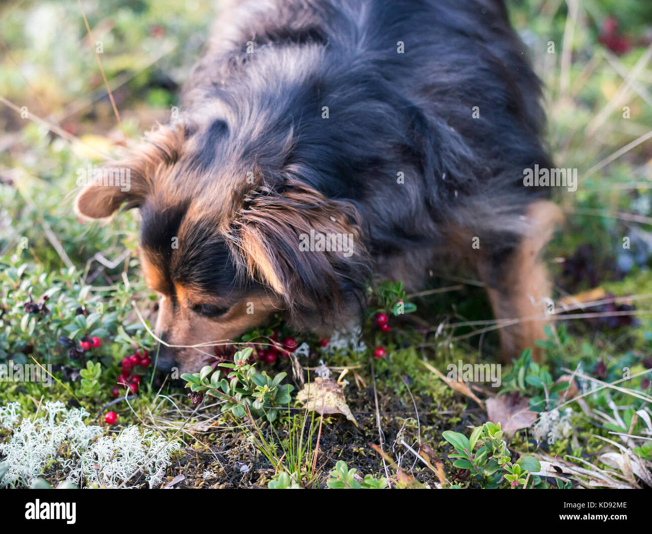 Dog picking and eating Lingonberry - Stock Image