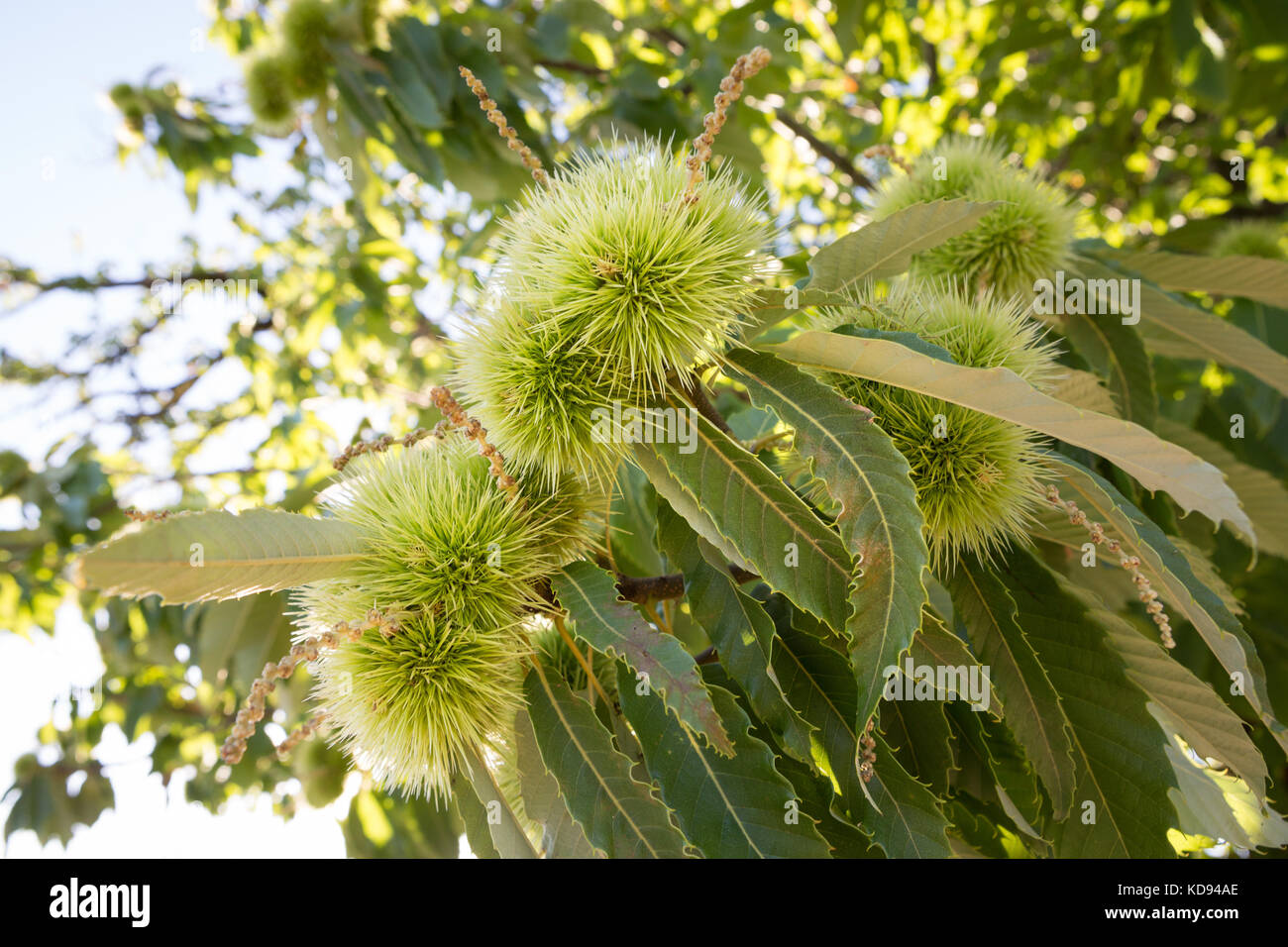 Close up of the spiny sharp cupule of the Chestnut tree, also called bur or burr hanging in the sun. - Stock Image