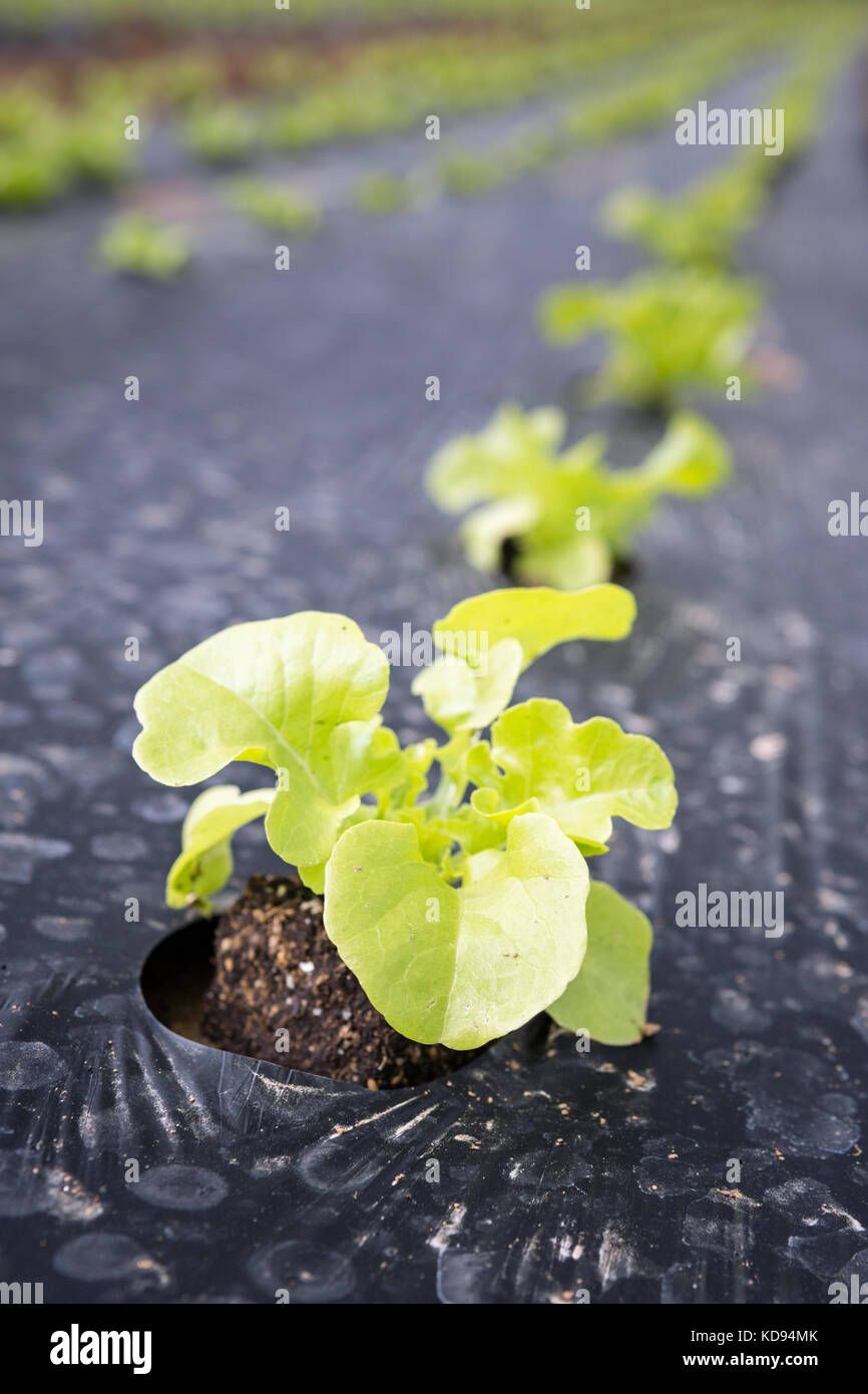 Young baby Green Leaf Lettuce growing outdoors in rows in plastic mulch. Stock Photo