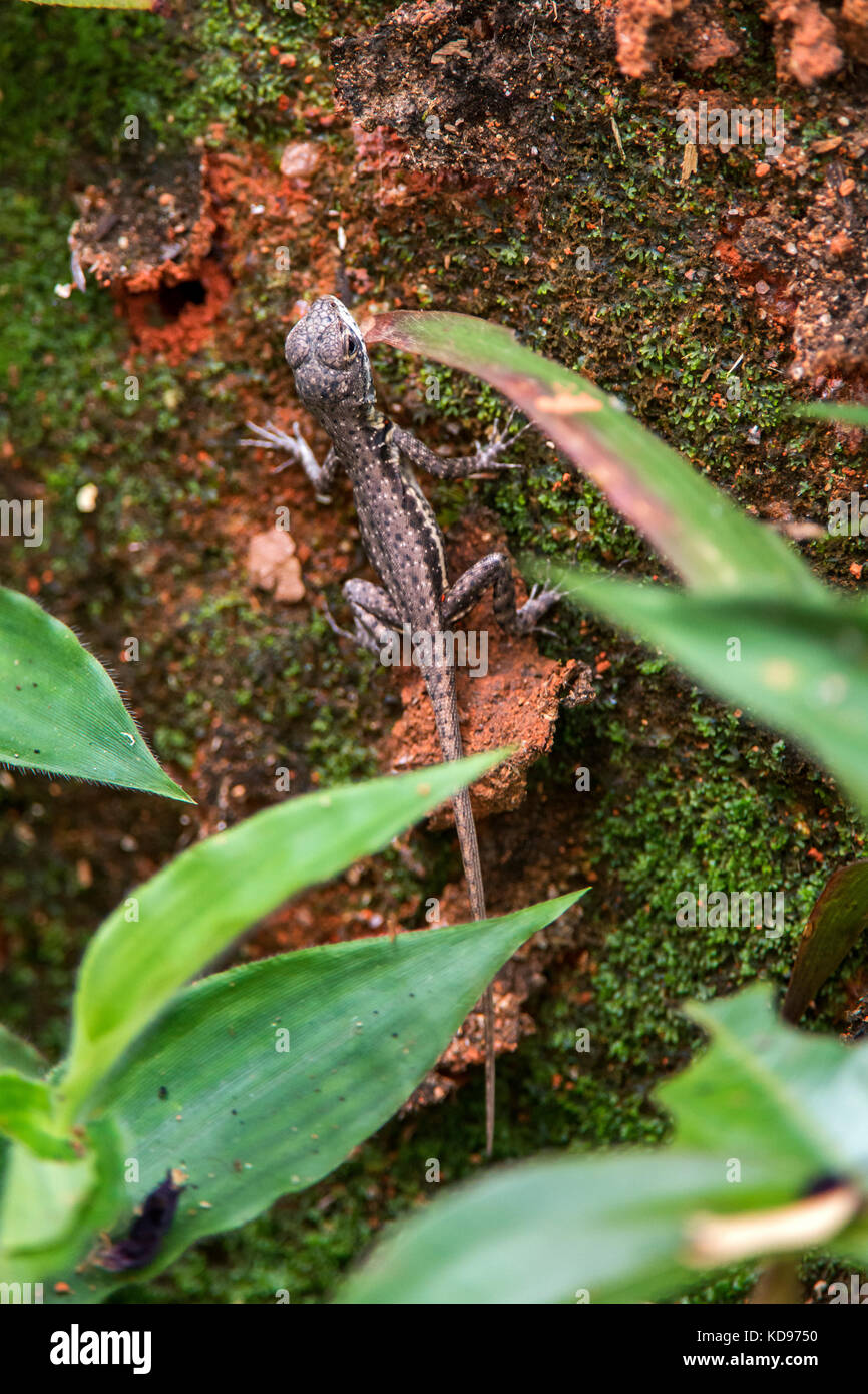 """""""Lagarto Calango (Tropidurus torquatus) fotografado em Domingos Martins, Espírito Santo -  Sudeste do Brasil. Bioma Stock Photo"""