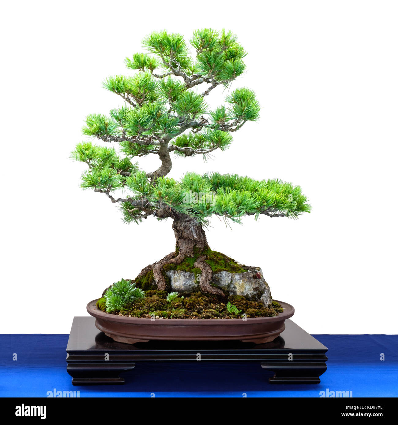 Japanese five finger pine (Pinus parviflora) conifer as Bonsai tree is growing over a rock - Stock Image