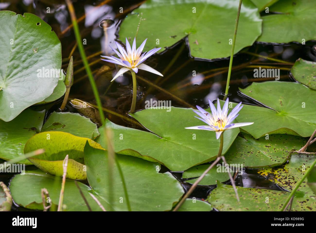 'Flôr-de-lotus (Nelumbo nucifera) fotografado em Conceição da Barra, Espírito Santo -  Sudeste - Stock Image