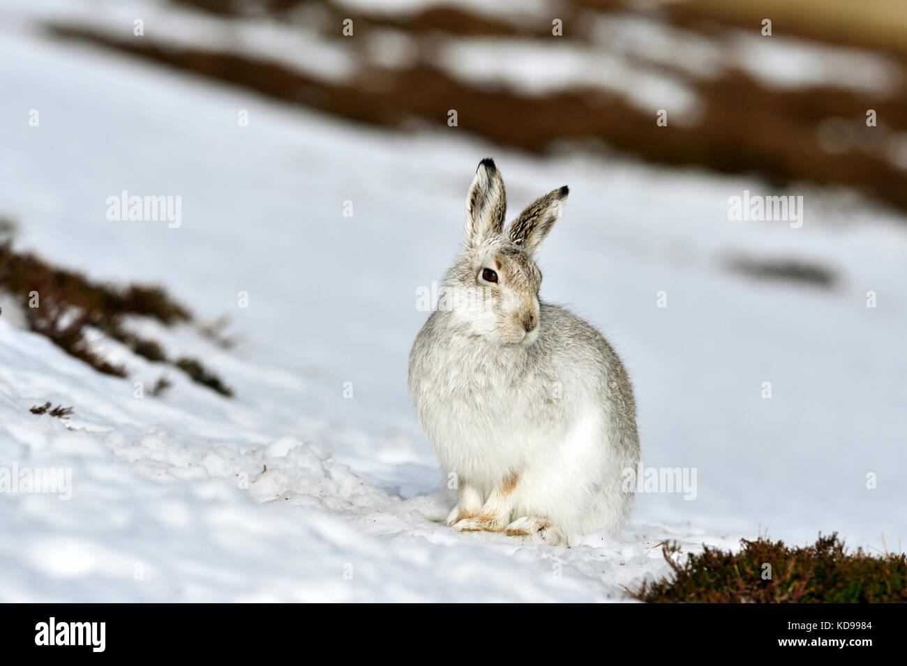 Mountain hare (Lepus timidus) UK - Stock Image