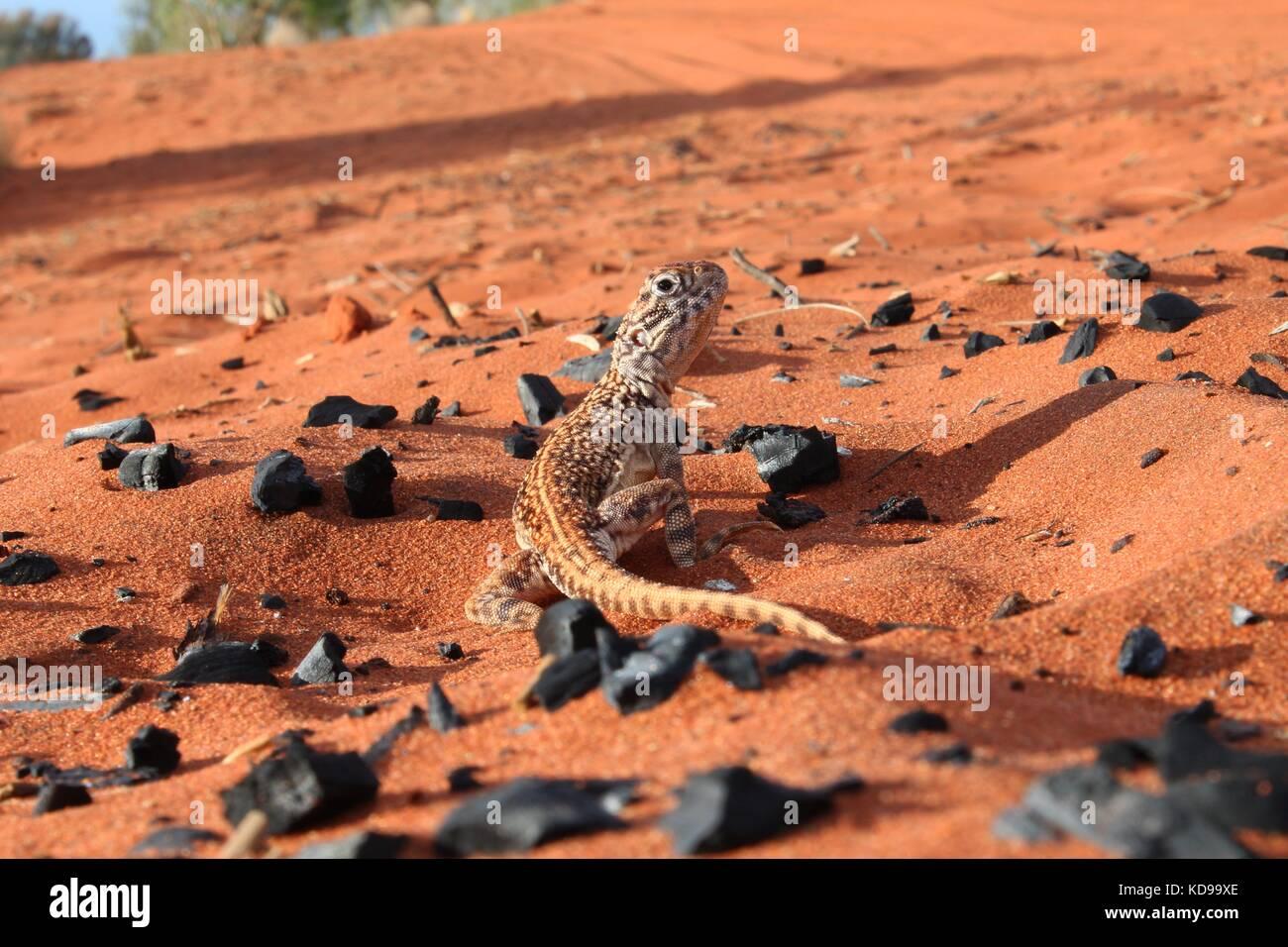 Lizard, Australian desert, Red soil - Stock Image