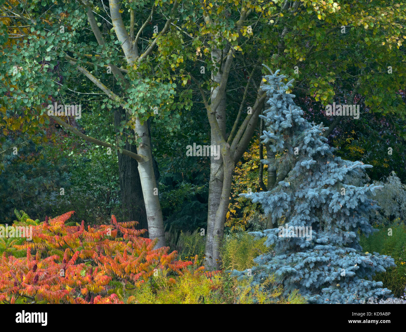 Blue spruce Picea pungens and other Autumn foliage at Bressingham Gardens Norfolk October - Stock Image
