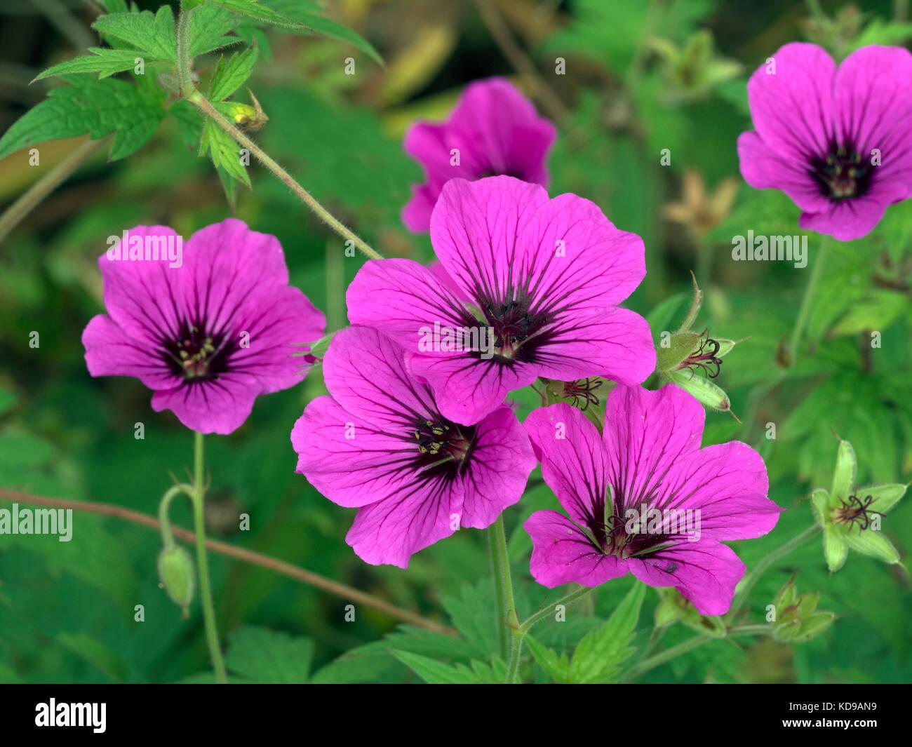 Geranium 'Patricia' in mixed herbaceous border - Stock Image