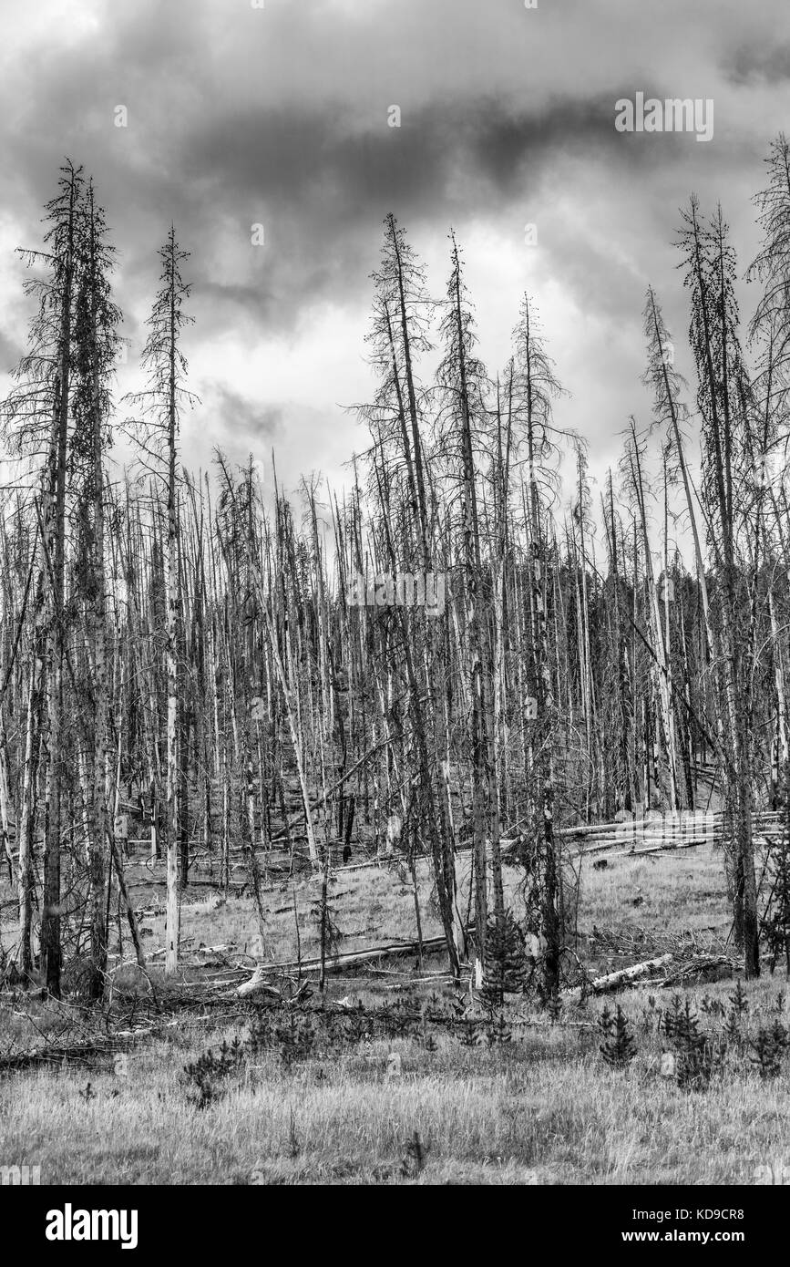 Burnt out Lodge pole pine trees at Mud Volcano, Yellowstone National Park, Wyoming - Stock Image