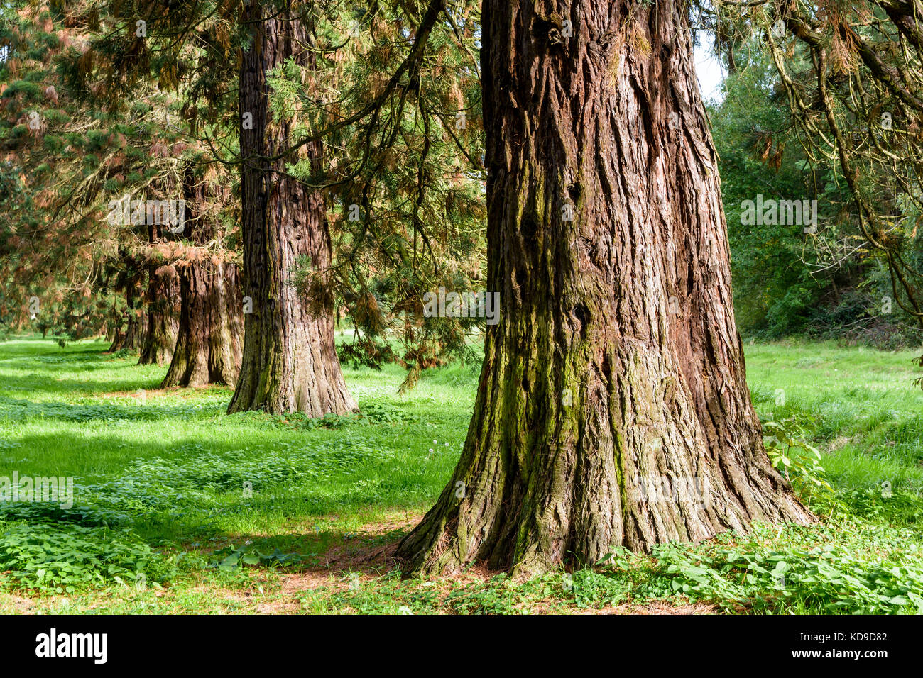Alignment of giant sequoia trees. - Stock Image