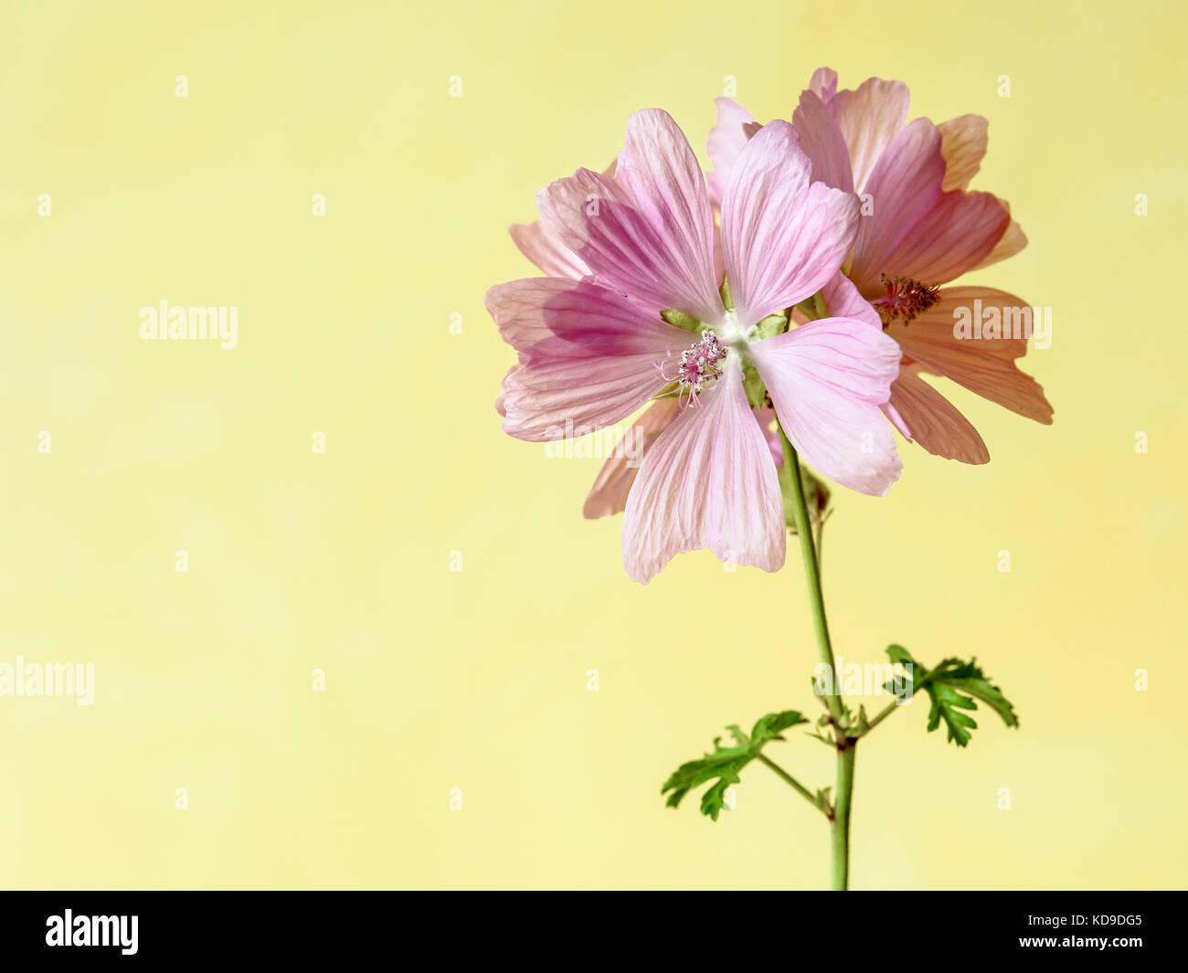 Pink Mallow Flowers With Five Petals On A Green Stalk With Two