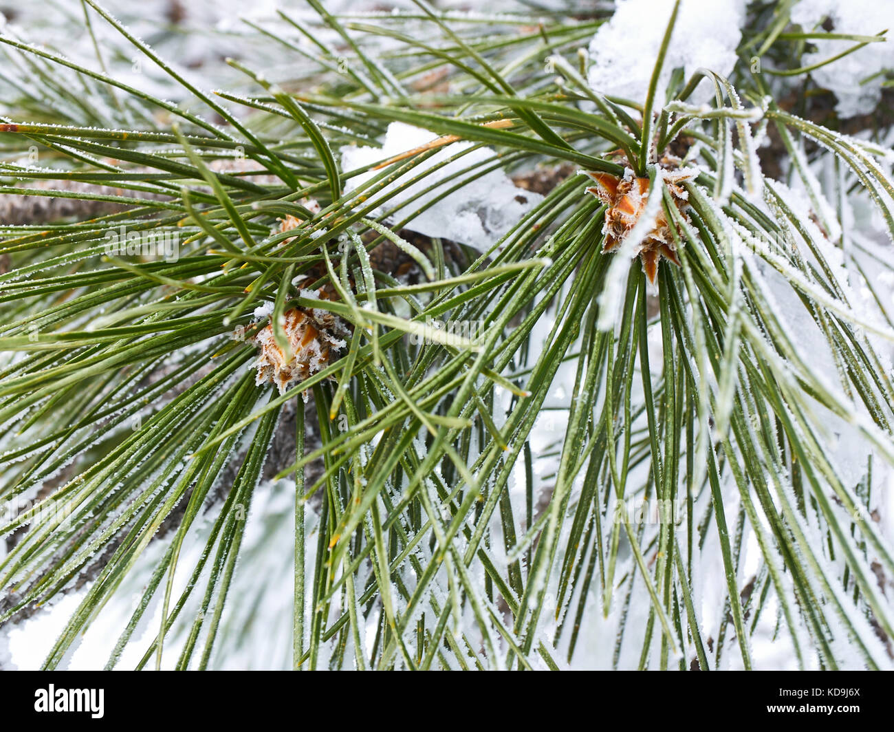 Snow rime on two long green needles of pine-tree with cones, close-up view Stock Photo
