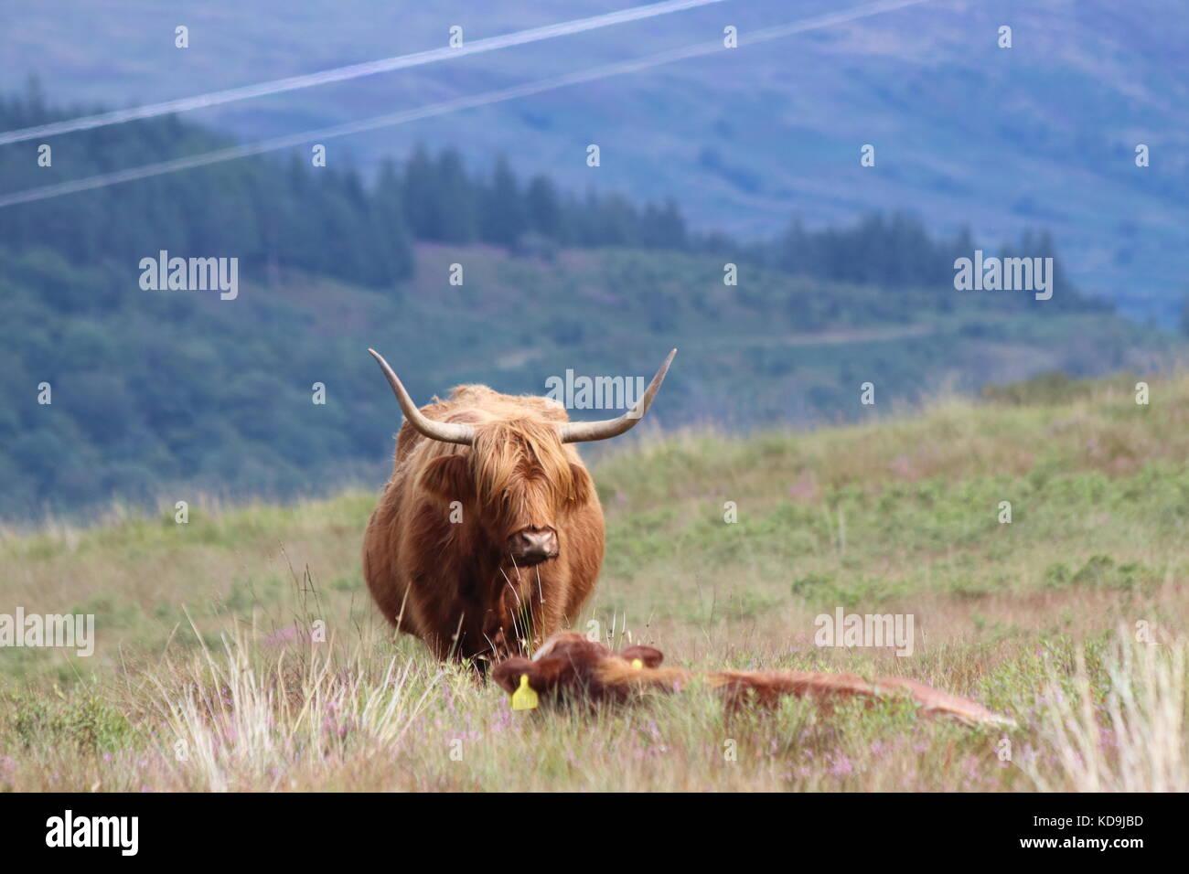 Highland cattle in Scotland, Highlands - Stock Image