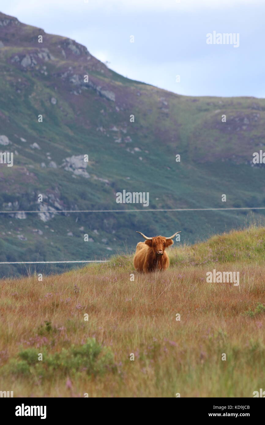 Highland cattle in Scotland, Highlands - Stock Image