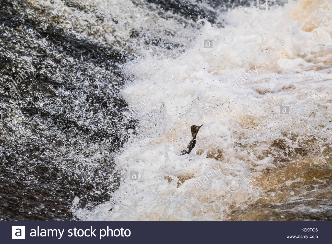 Selkirk, Scottish Borders, UK. 11th Oct, 2017. An Atlantic Salmon's (Salmo salar) tail is seen in the rapids - Stock Image