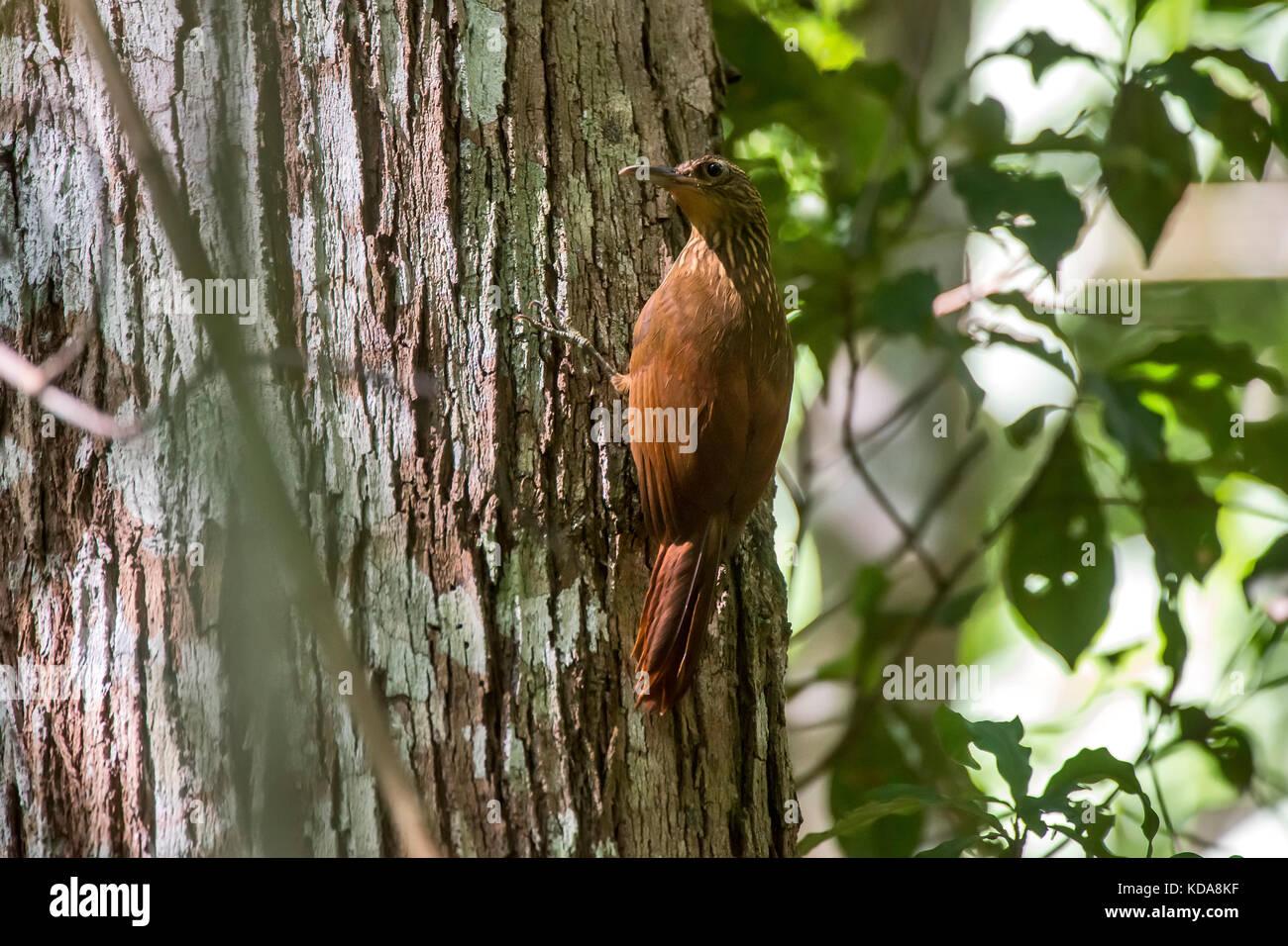 """Arapaçu-de-garganta-amarela (Xiphorhynchus guttatus) fotografado em Linhares, Espírito Santo -  Sudeste do Brasil. Stock Photo"