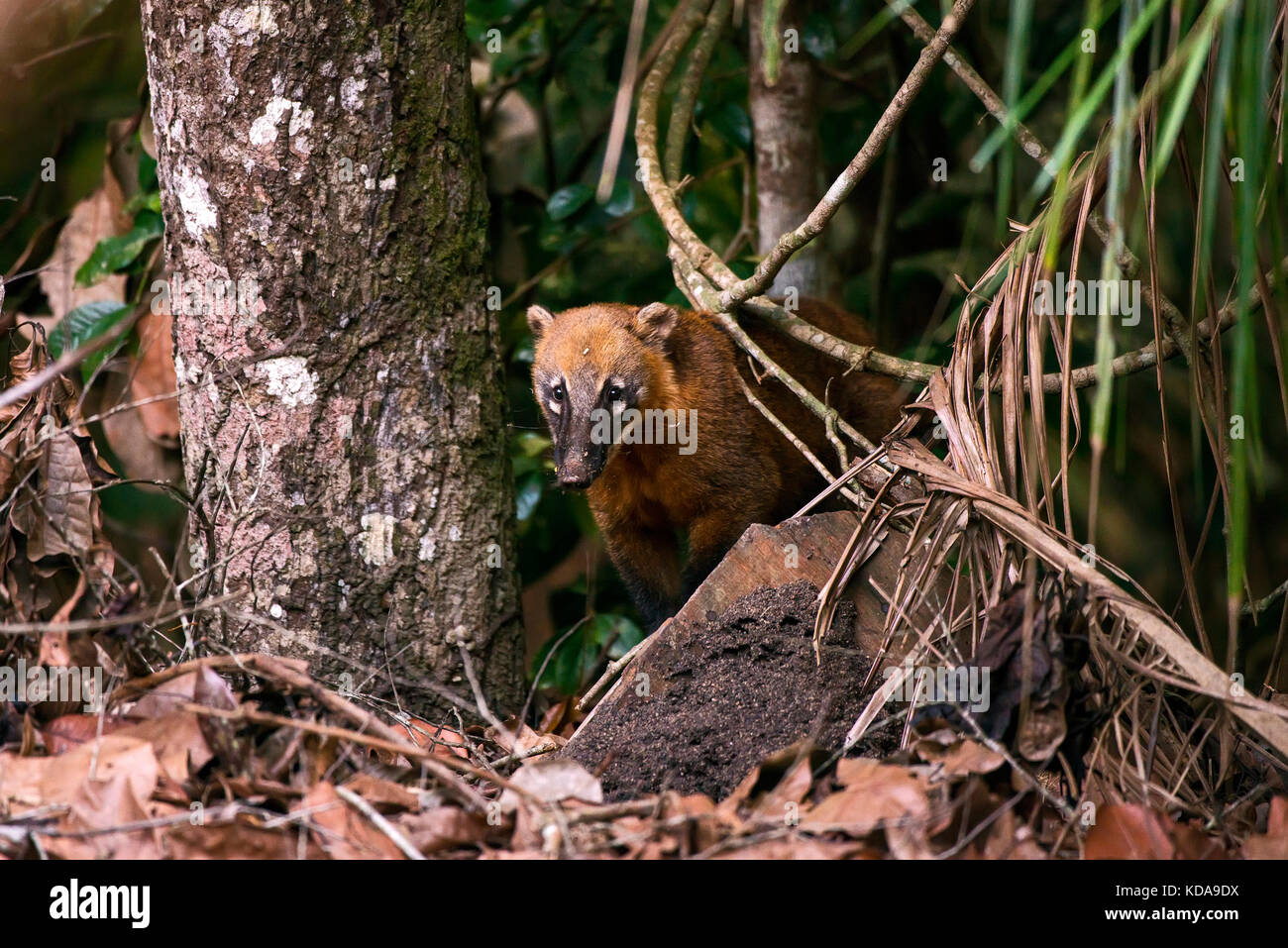 """""""Quati-de-cauda-anelada (Nasua nasua) fotografado em Linhares, Espírito Santo -  Sudeste do Brasil. Bioma Mata Atlântica. Stock Photo"""