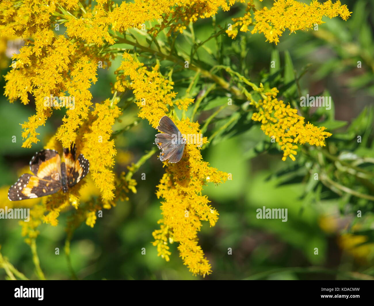 Bufferflies,Bees,Moths,Wasp,Hornet,Pelicans in Dallas - OL5874727 - Stock Image