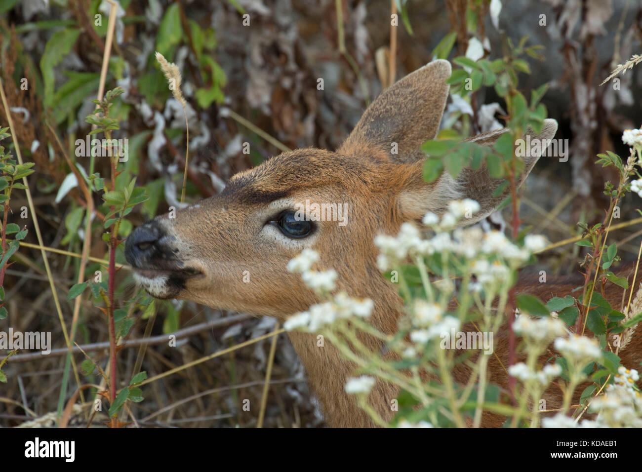 Blacktail deer, Fort Flagler State Park, Washington - Stock Image