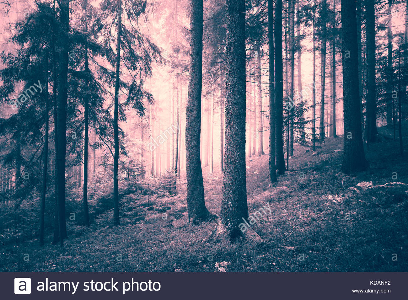 Beautiful pink colored dreamy conifer forest. Color filter effect used. - Stock Image