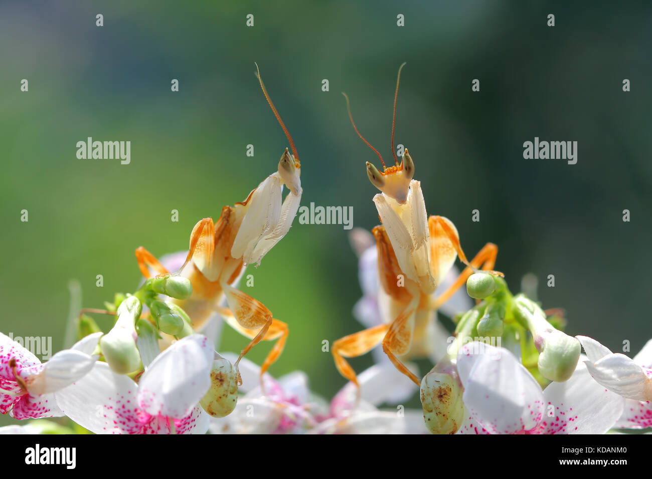 Two praying mantis on orchid flowers - Stock Image
