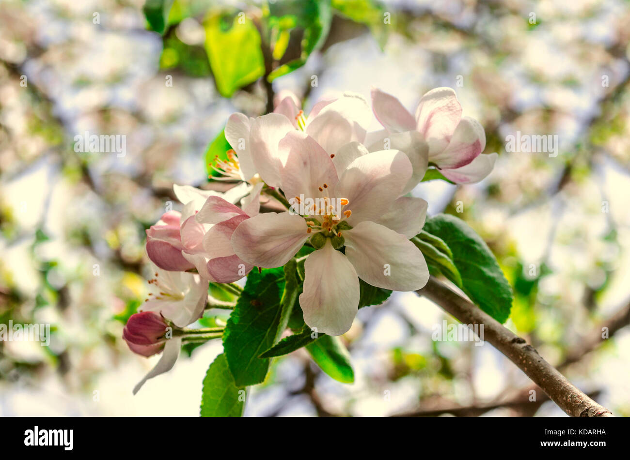 Apple Tree With Pink And White Buds Stock Photos Apple Tree With