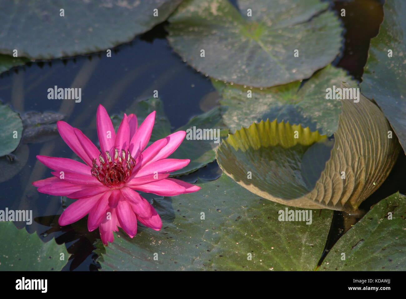 Pink Lotosflower in water with leafs -  Rosa Lotosflower im Wasser mit Blättern - - Stock Image