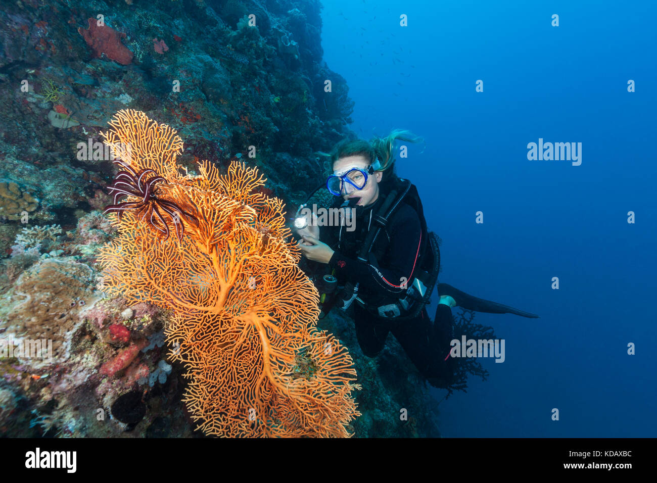 Diver looking at colourfal sea fans at St Crispins Reef, Great Barrier Reef Marine Park, Port Douglas, Queensland, - Stock Image